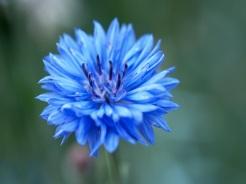 mwi-blue-cornflower-hampton-court-flower-show