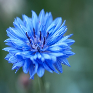 mwi-blue-cornflower-hampton-court-flower-show