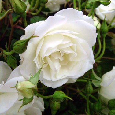 mwi-iceberg-floribunda-rose-hampton-court-flower-show
