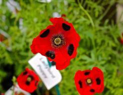 mwi-ladybird-poppies-hampton-court-flower-show