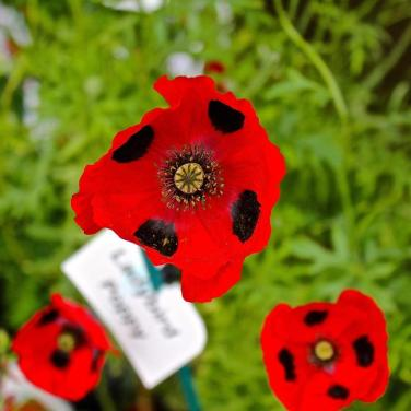 mwi-ladybird-poppies-hampton-court-flower-show